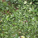 Image of basketgrass