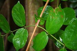 Image of <i>Cremaspora triflora</i> (Thonn.) K. Schum.