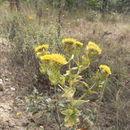 Image of <i>Helichrysum setosum</i> Harv.