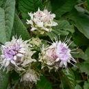 Image of <i>Vernonia adoensis</i> Sch. Bip. ex Walp.