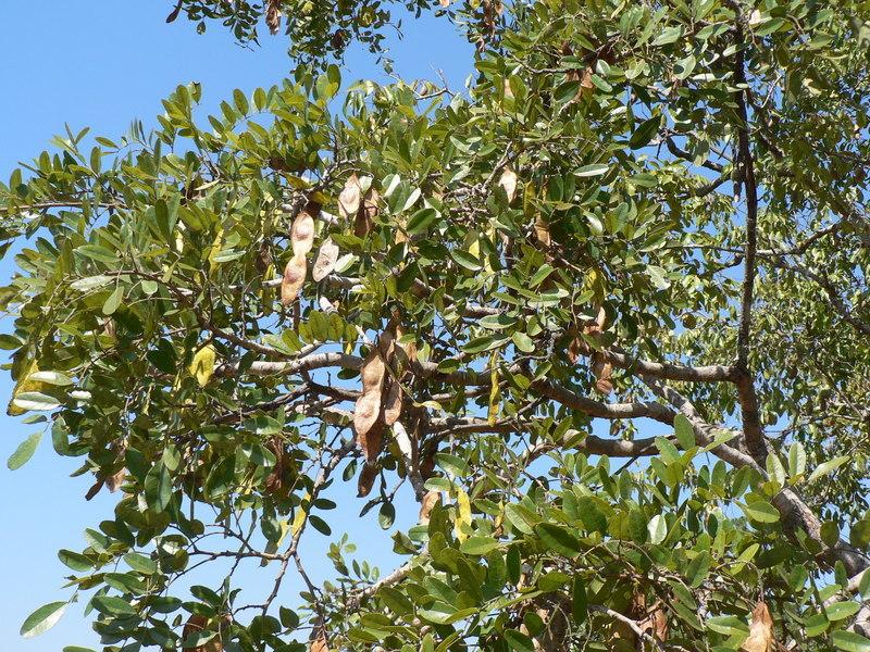 Image of <i>Pericopsis angolensis</i> (Baker) Meeuwen