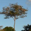 Image of Bleedwood Tree