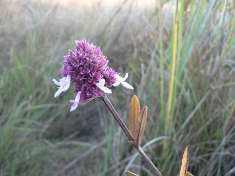 Image of <i>Aeollanthus engleri</i> Briq.