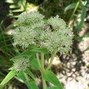 Image of <i>Agathisanthemum globosum</i> (Hochst. ex A. Rich.) Klotzsch