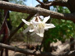 Image of <i>Feretia aeruginescens</i> Stapf