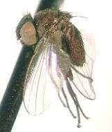 Image of <i>Pholeomyia politifacies</i> Sabrosky 1959