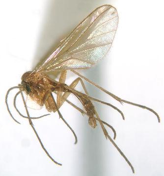 Image of <i>Diadocidia stanfordensis</i> Arnaud & Hoyt 1956