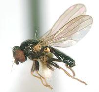 Image of <i>Pseudodinia meridionalis</i> Hennig 1947
