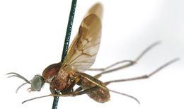 Image of wood gnats