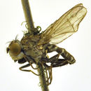 Image of <i>Paralimna punctipennis</i> (Wiedemann 1830)