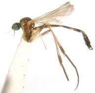 Image of Lygistorrhina