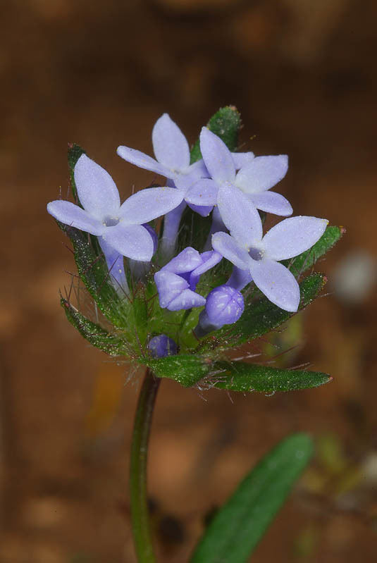 Image of blue woodruff