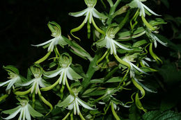 Image of <i>Bonatea speciosa</i> (L. fil.) Willd.