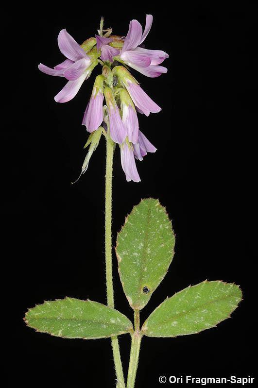 Image of <i>Trigonella lilacina</i> Boiss.