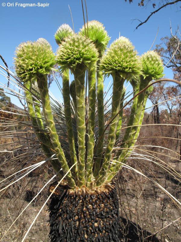 Image of <i>Kingia australis</i> R. Br.
