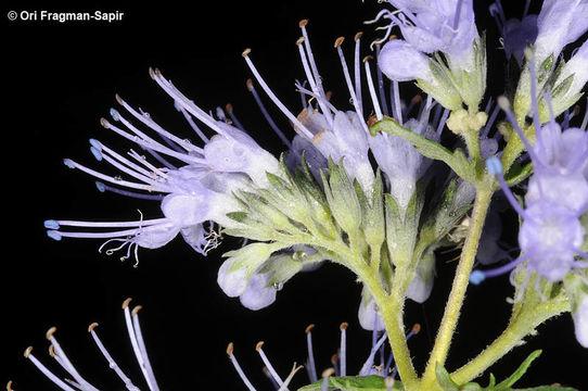 Image of <i>Caryopteris tangutica</i> Maxim.