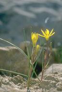 Image of <i>Gagea chlorantha</i> (M. Bieb.) Schult. & Schult. fil.
