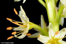 Image of <i>Eremurus spectabilis</i> M. Bieb.