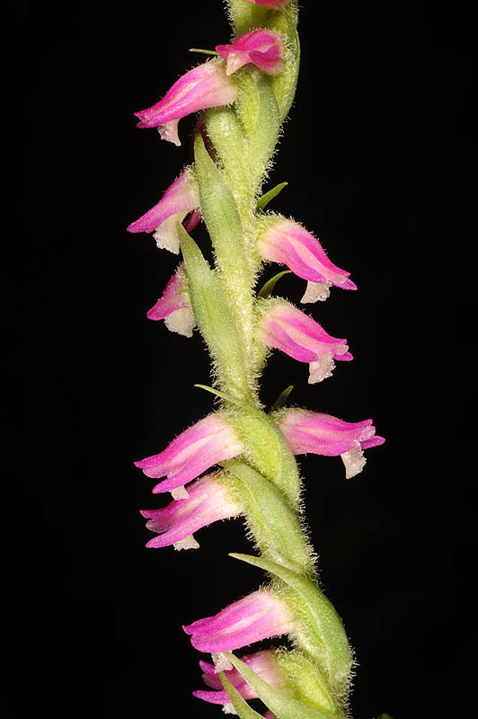 Image of Chinese Spiranthes