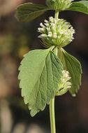 Image of whitewort