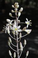 Image of <i>Drimia aphylla</i> (Forssk.) J. C. Manning & Goldblatt