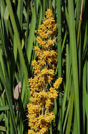 Image of <i>Lomandra longifolia</i> Labill.