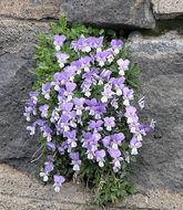 Image of <i>Viola aethnensis</i> Parl.