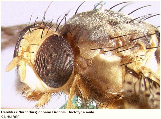 Image of <i>Ceratitis anonae</i> Graham 1908