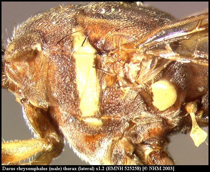 Image of <i>Dacus chrysomphalus</i> (Bezzi 1924)
