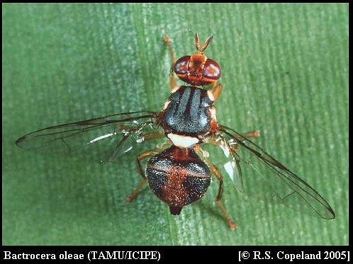 Image of Olive Fruit Fly