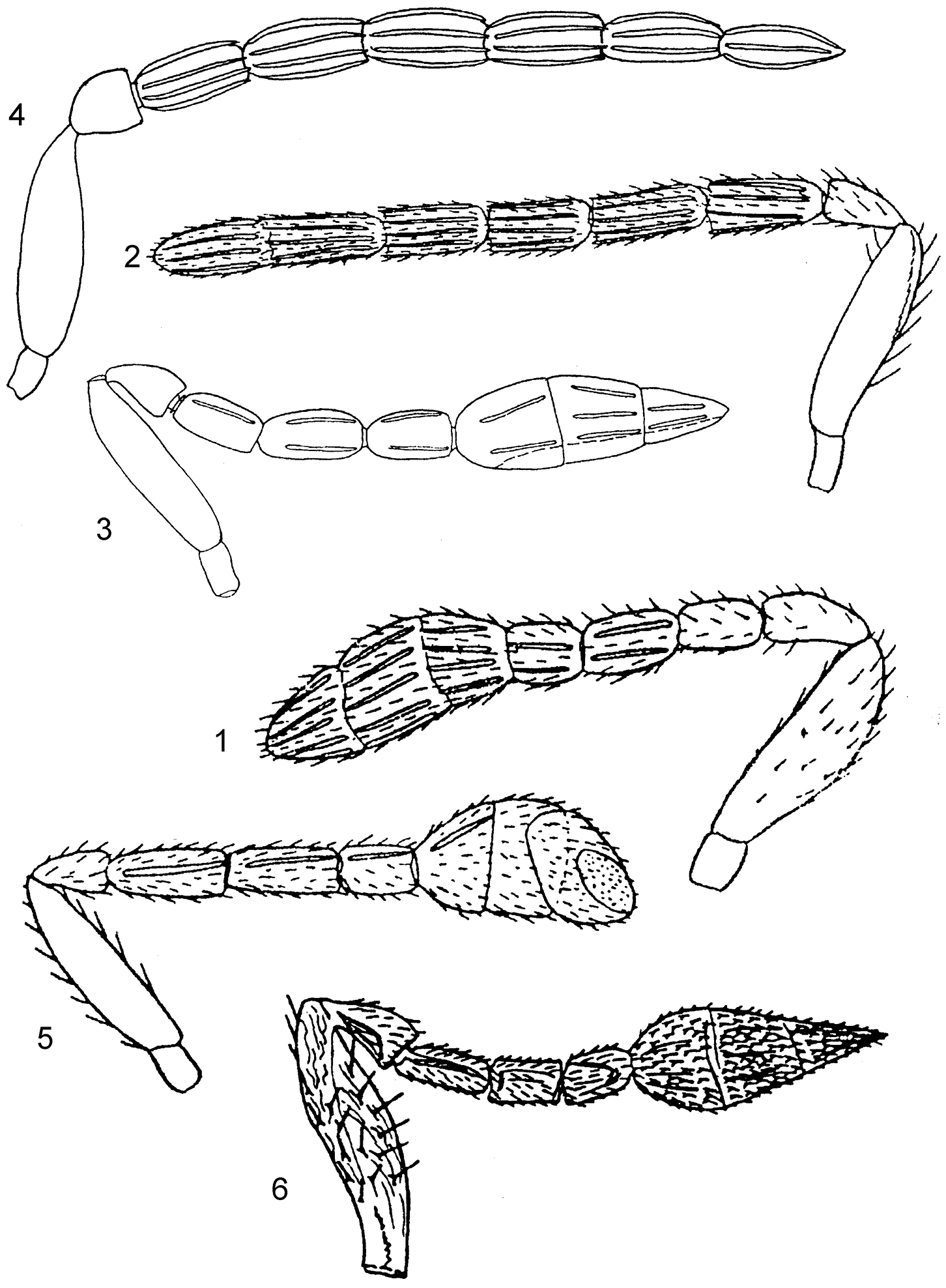 Image of <i>Encarsia magniclava</i> (Girault 1915)