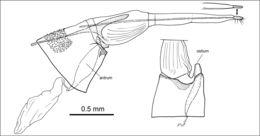 Image of <i>Phyllobrostis minoica</i> Mey 2014