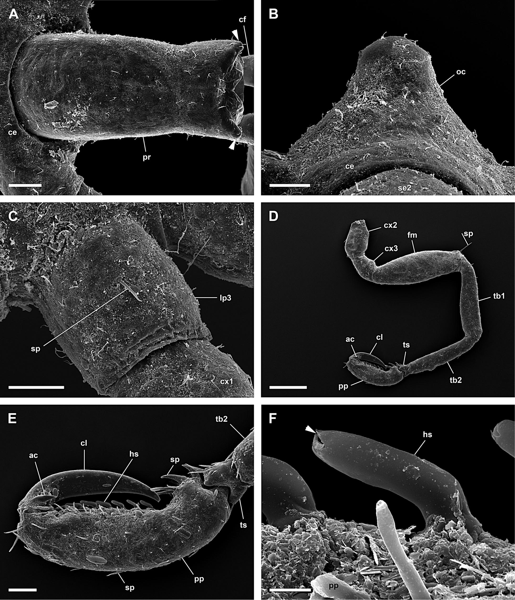 Image of <i>Anoplodactylus angulatus</i> (Dohrn 1881)