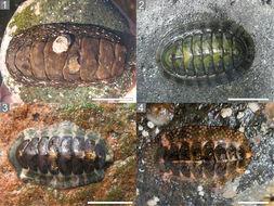Image of <i>Enoplochiton niger</i> (Barnes 1824)