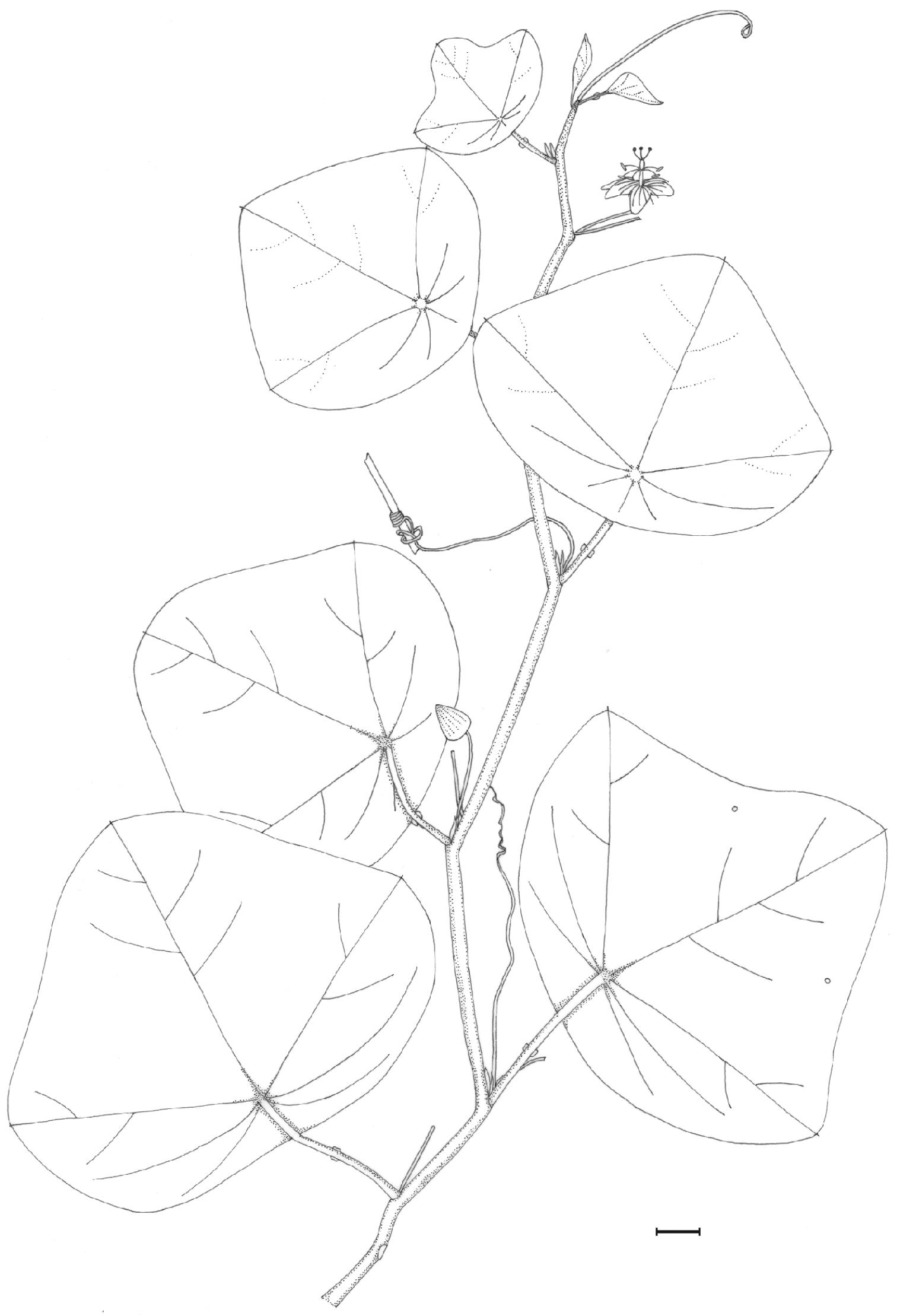 581.phytokeys 43 7804 sp 13 p 2