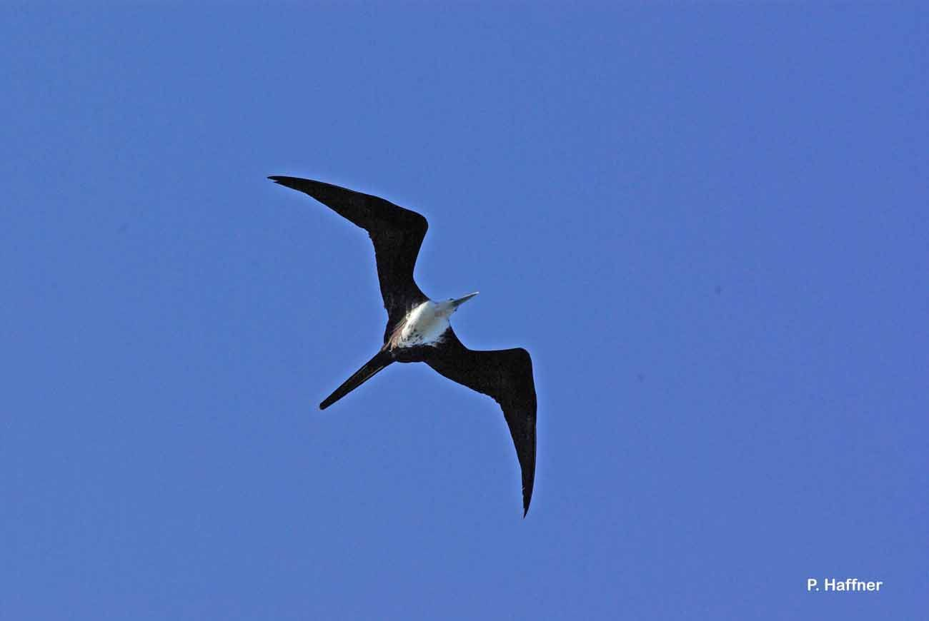 Image of Magnificent Frigatebird