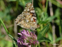 Image of painted lady