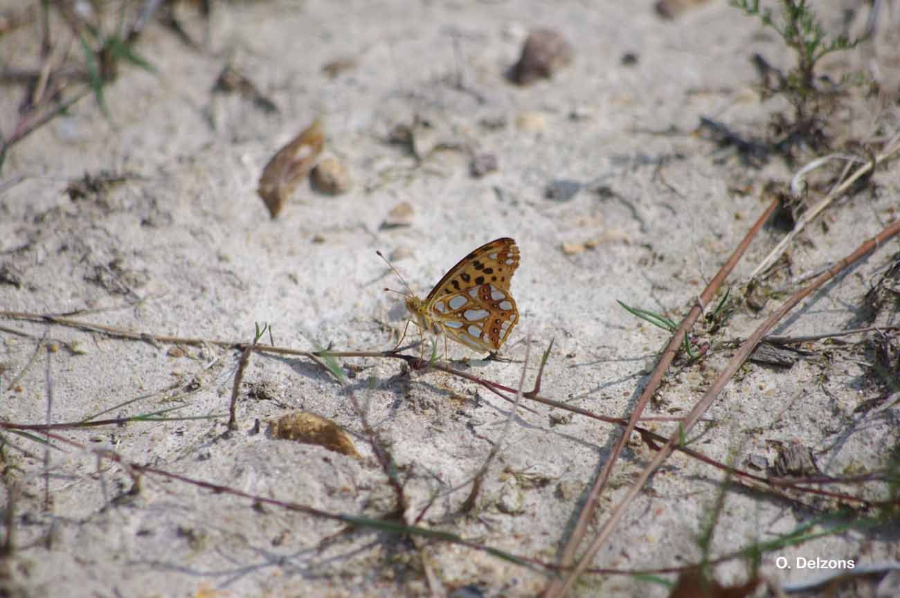 Image of Queen of Spain Fritillary