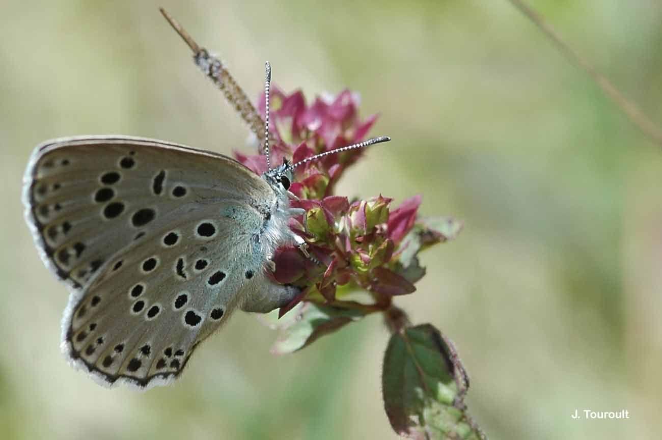 Image of <i>Maculinea arion</i> (Linnaeus 1758)