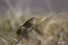 Image of Hedge accentor