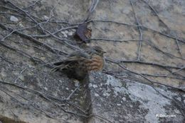 Image of Alpine accentor