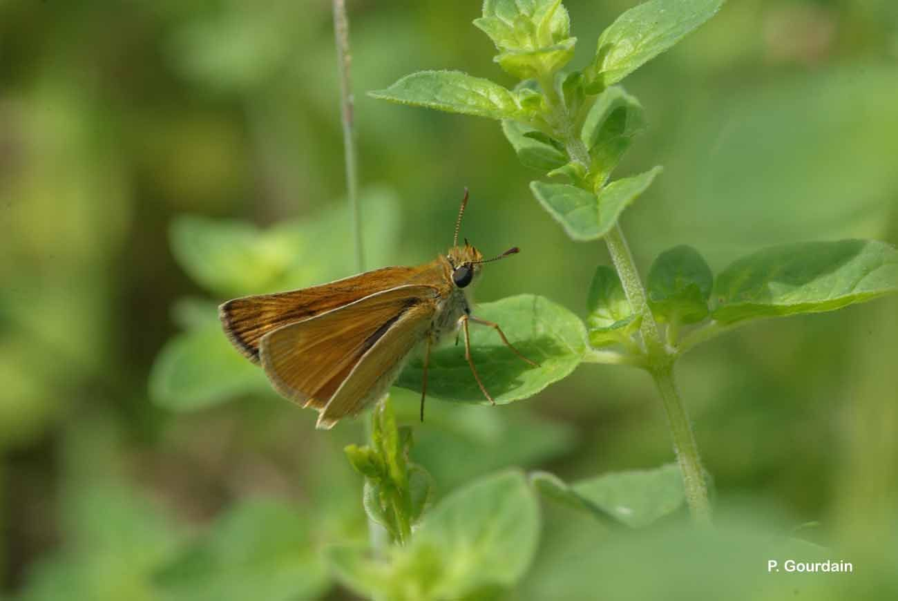 Image of Lulworth Skipper