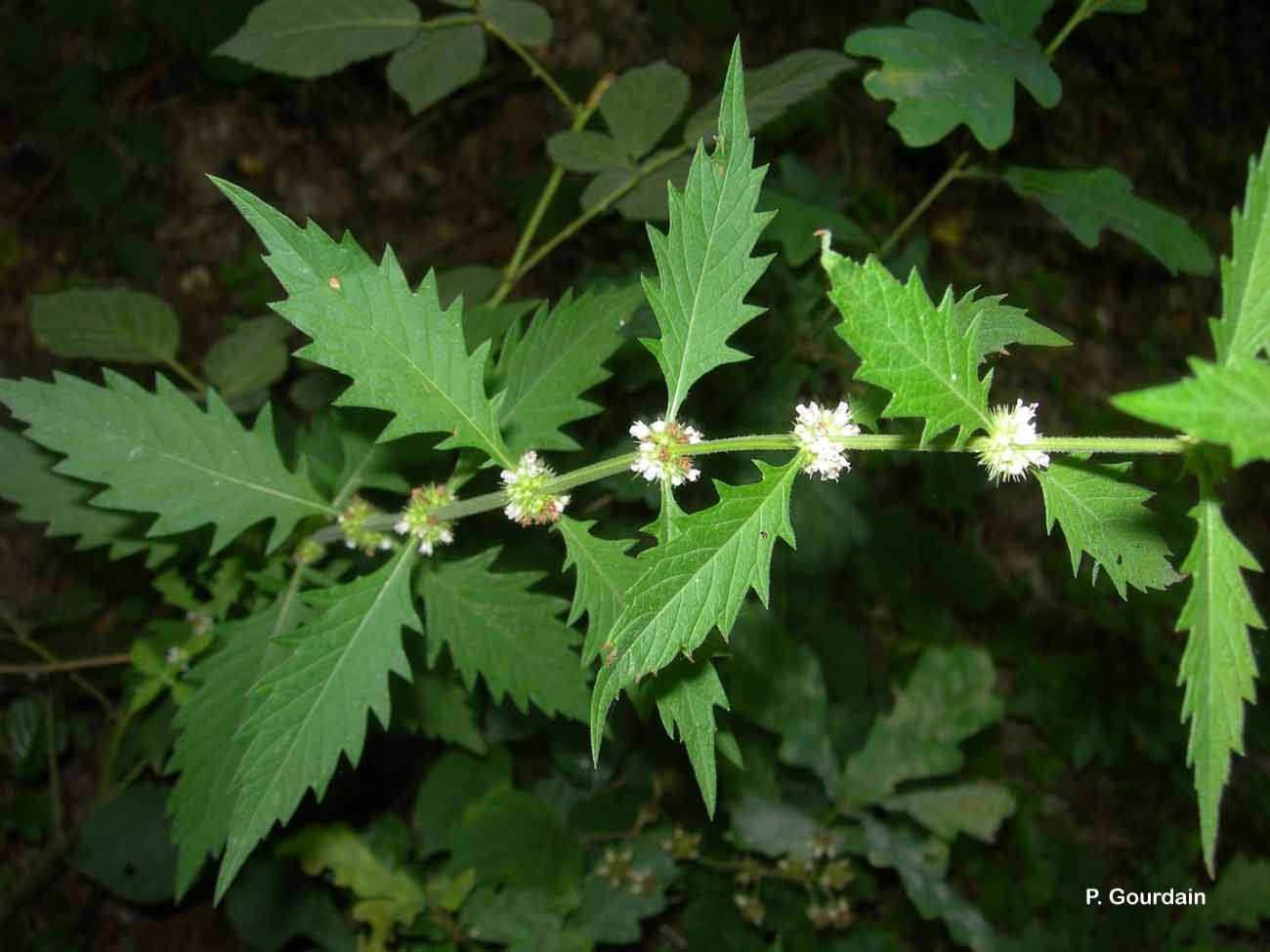 Image of European bugleweed