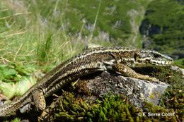 Image of Aran Rock Lizard