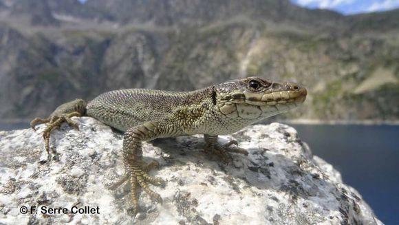 Image of Pyrenean Rock Lizard