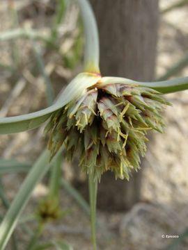 Image of <i>Cyperus capitatus</i> Vand.