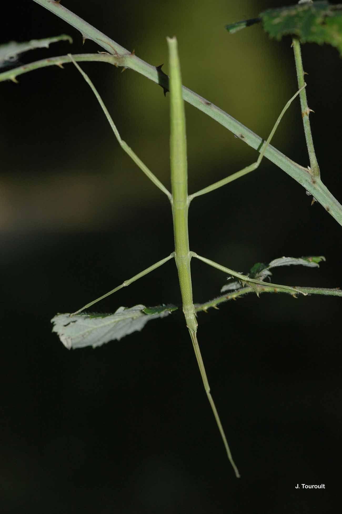 Image of <i>Clonopsis gallica</i> (Charpentier 1825)