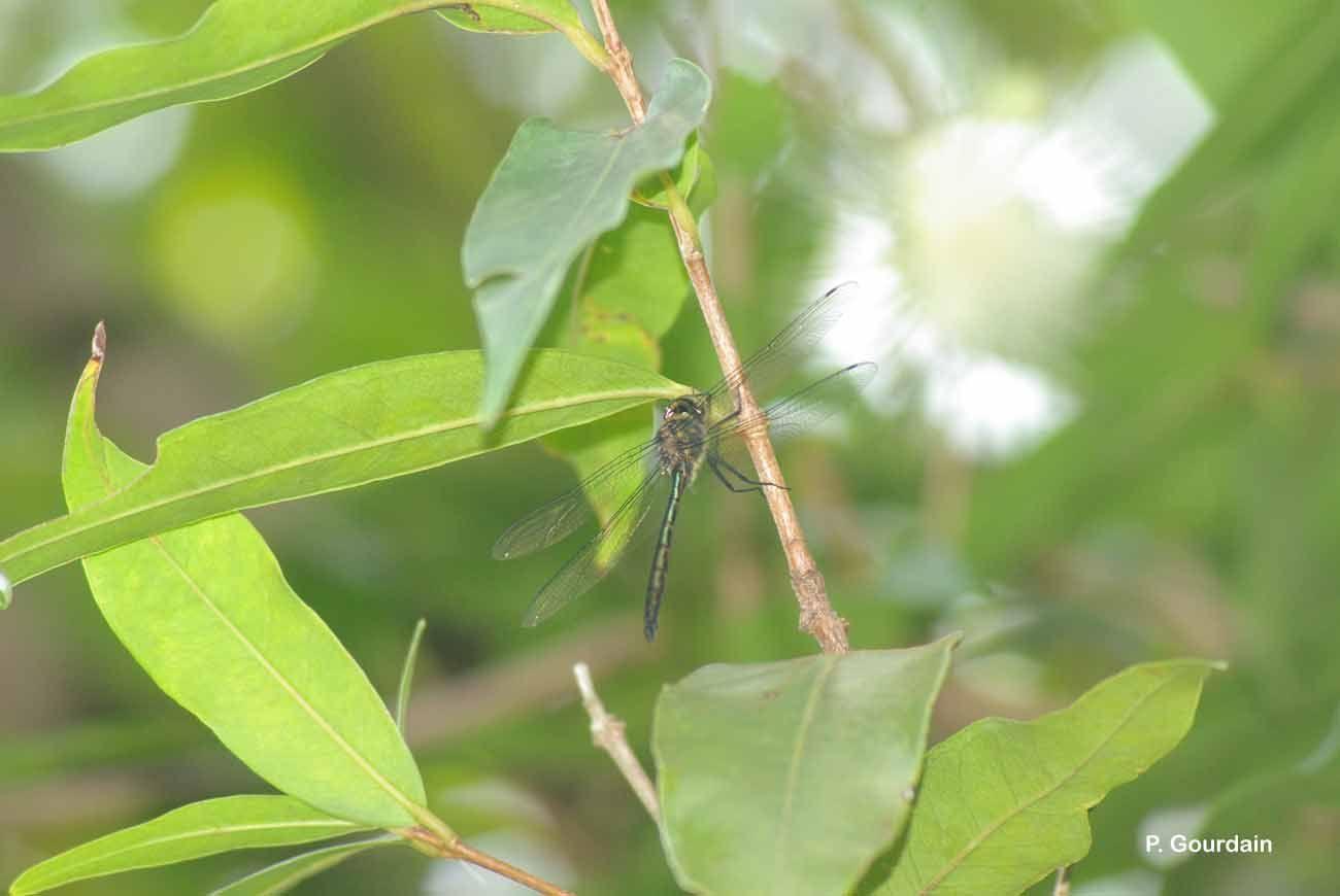 Image of <i>Hemicordulia atrovirens</i> Dijkstra 2007