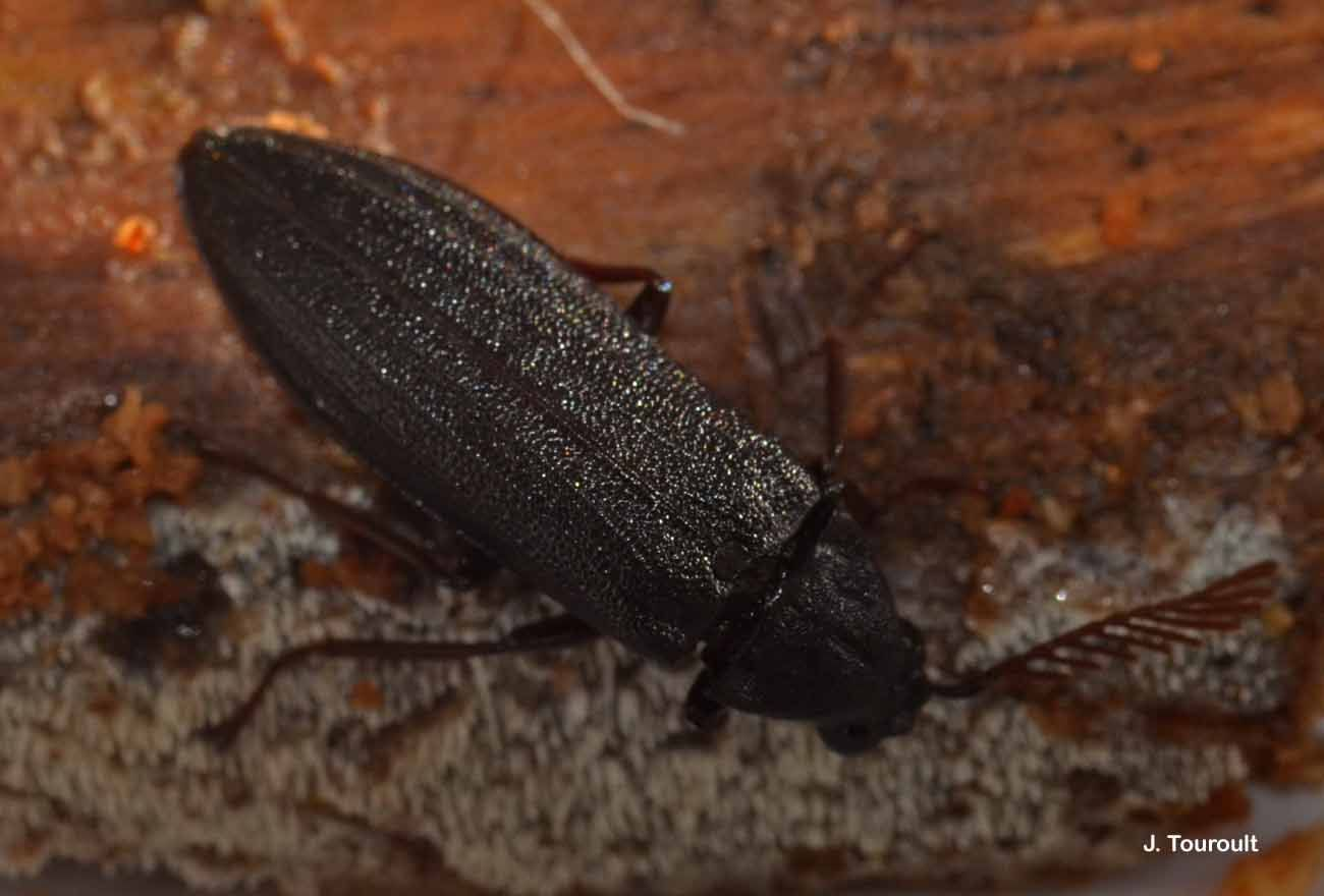 Image of <i>Callirhipis lherminieri</i> Laporte de Castelnau 1834