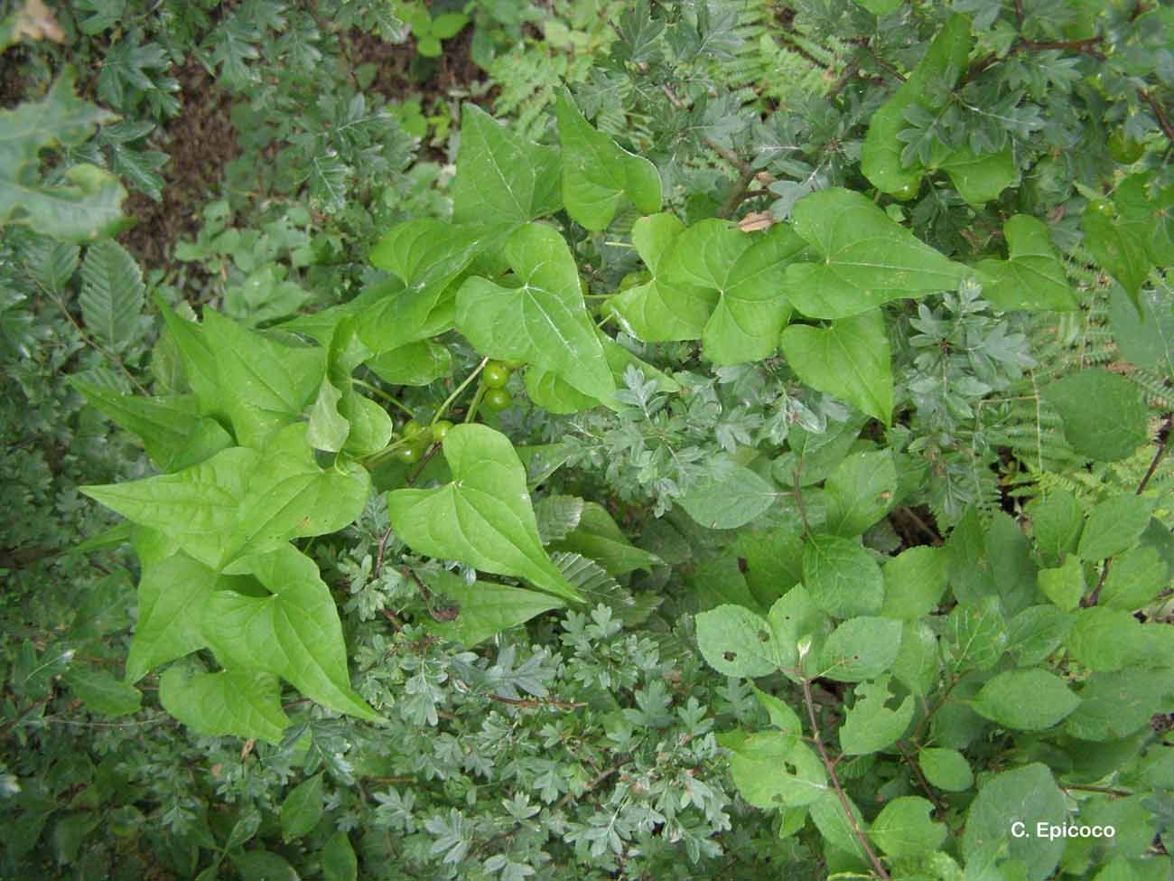 Image of <i>Dioscorea communis</i> (L.) Caddick & Wilkin